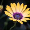 september-open-a_ryan-kirschner_honorable-mention_gerber-daisy_20160926