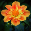 october-open-a_orange-dahlia_dave-williams_honorable-mention_20161024