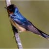 october-open-b_barn-swallow_ellen-stein_image-of-the-month_20161024