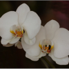 october-open-salon_2-white-orchids_ben-venezio_top-award_20161024