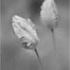 october-open-salon_tulips-fine-art_janet-bongiovanni_honorable-mention_20161024