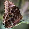 March Assigned BMacro and Closeup_Common Morpho Butterfly_Ellen Stein_Honorable Mention_20170327