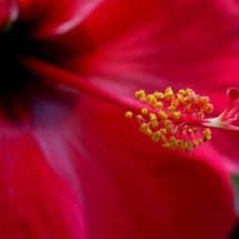 March Assigned BMacro and Closeup_Hibiscus_Sherryl Gilfillian_Honorable Mention_20170327