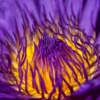 March Assigned BMacro and Closeup_Water Lily 1_Sherryl Gilfillian_Top Award_20170327