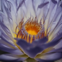 March Assigned BMacro and Closeup_Water Lily 2_Sherryl Gilfillian_Top Award_20170327