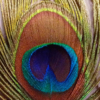 March Assigned BMacro and Closeup_feather_Carol Gaffney_Image of the Month_20170327