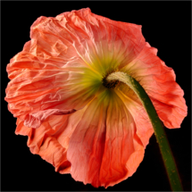 March Open A_Poppy_Dave Williams_Honorable Mention_20170327