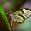March Open B_Paulas Clearwing butterfly_Ellen Stein_Honorable Mention_20170327