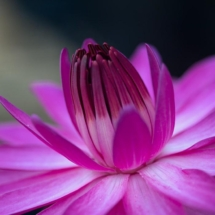 March Open B_Pink Water Lily_Sherryl Gilfillian_Honorable Mention_20170327