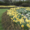 Daffodills_Janet Bongiovanni_Open Salon_Honorable Mention