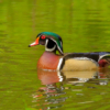 Echo Lake Wood Duck_Joe Moran_Open A_Honorable Mention