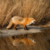 Fox Reflection_Nick Palmieri_Open Salon_Honorable Mention