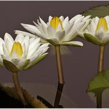 3 White Water lilies_Ben Venezio_Open Salon_Honorable Mention