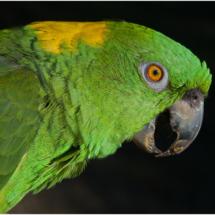 Amazon Parrot_Ron Denk_Open Salon_Honorable Mention