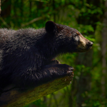 Black Bear in last light_Nick Palmieri_Open Salon_Honorable Mention