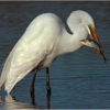 Egret with Fish_Ben Venezio_Open Salon_Equal Merit