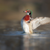Flapping Wood Duck_Nick Palmieri_Open Salon_Equal Merit