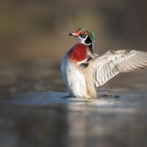 Flapping Wood Duck_Nick Palmieri_Open Salon_Equal Merit