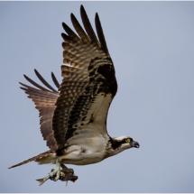 Osprey with Fish_Ellen Stein_Open A_Equal Merit
