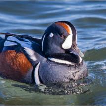 Harlequin Duck in Barnegat Bay_Ellen Stein_Open A_Honorable Mention