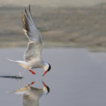 Skimming Tern_Nick Palmieri_Open Salon_Equal Merit