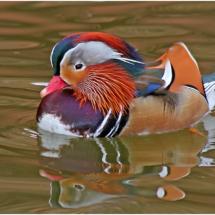Mandarin Duck_Ben Venezio_Open Salon_Honorable Mention