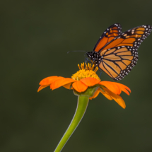Monarch on Mexican Sunflower_Nick Palmieri_Open Salon_Equal Merit