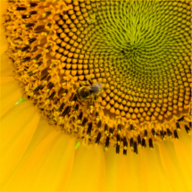 Bee on Sunflower_Lisa Blake_Open B_Honorable Mention