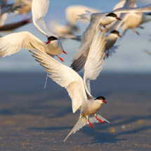 Flock of Terns_Nick Palmieri_Open Salon_Honorable Mention