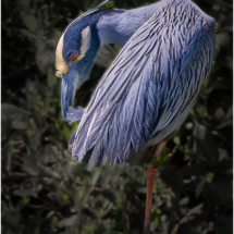 YellowCrowned Night Heron Preening_Ellen Stein_Open A_Honorable Mention