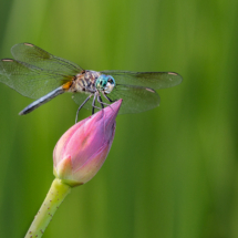 Dragon Fly_Nick Palmieri_Open Salon_Honorable Mention