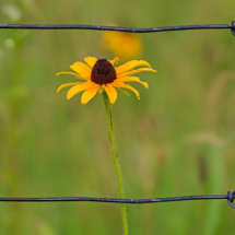 Framed Black Eyed Susan_Arlene Sopranzetti_Open A_Honorable Mention