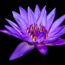 Purple WaterLily_Ellen Stein_Open Salon_Equal Merit
