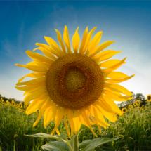 Sunflower_Christine Cuthbertson_Open Salon_Equal Merit