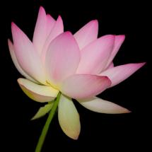 Lotus at NYBG_Ellen Stein_Open Salon_Equal Merit