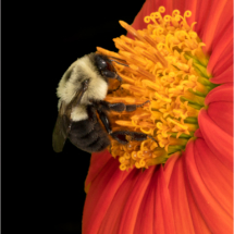 Bee on Mexican Sunflower_Nick Palmieri_Open Salon_Honorable Mention