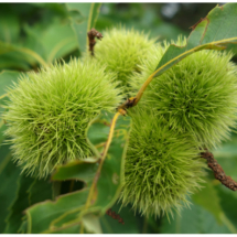 Chestnuts_Wendy Kaplowitz_Open B_Honorable Mention