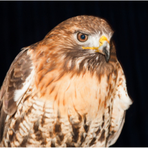 Red Tailed Hawk_Ron Denk_Open Salon_Honorable Mention