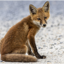 Baby Fox_Nellie Stolarz_Open B_Equal Merit