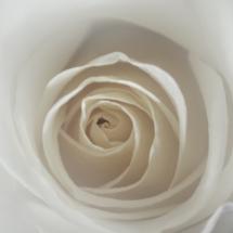 White Rose_Neil Hunter_Open A_Equal Merit