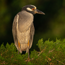 Yellowcrowned night heron_Sherryl Gilfillian_Open A_Honorable Mention
