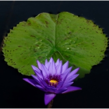 Flower in the Water_Wendy Kaplowitz_Open B_Honorable Mention