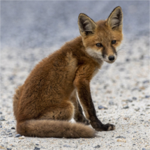Baby Fox_Nellie Stolarz_Open B_Honorable Mention