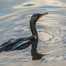 Black Bird Swimming_Neil Hunter_Open A_Honorable Mention