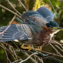Green Heron_Neil Hunter_Open A_Honorable Mention