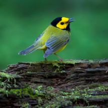 Hooded Warbler_Arlene Sopranzetti_Open A_Honorable Mention