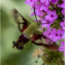 Hummingbird Moth_Nellie Stolarz_Open B_Honorable Mention
