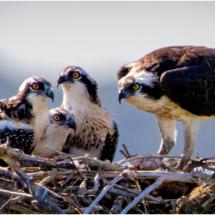 Osprey Family_Ellen Stein_Open Salon_Honorable Mention