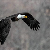 Eagle racing away with catch_Ellen Stein_Open Salon_Honorable Mention