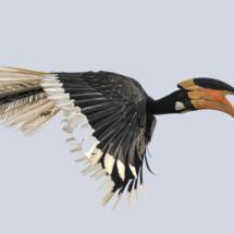 Hornbill in Flight_James Bluck_Open B_Equal Merit